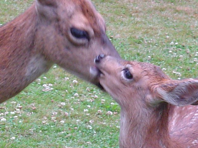 Momma & Fawns 072007-4